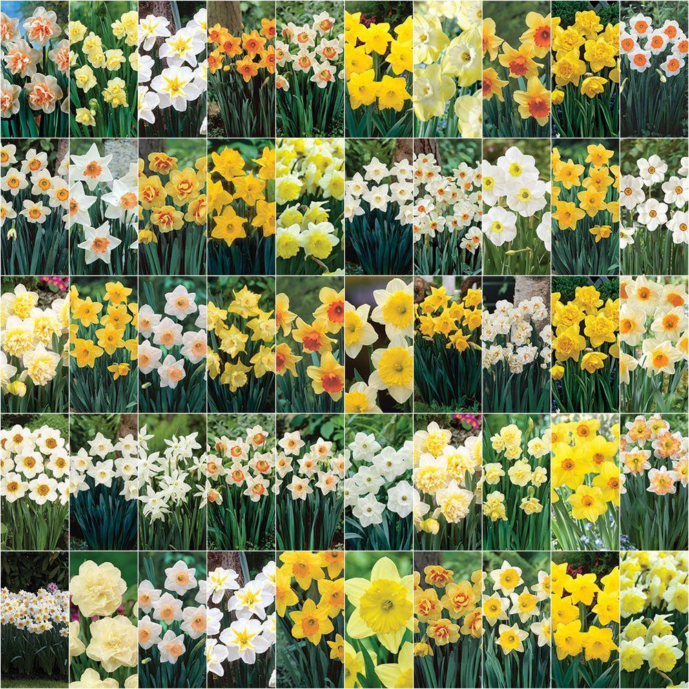 bloomsz Collectors Masterpiece Daffodil Blend Bulbs (1000 Pack)