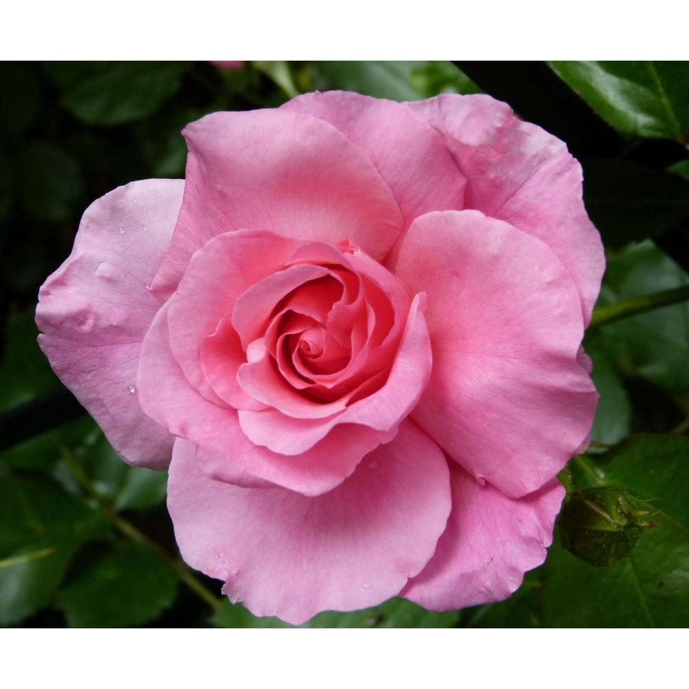 Special Purpose Rose Pink Promise