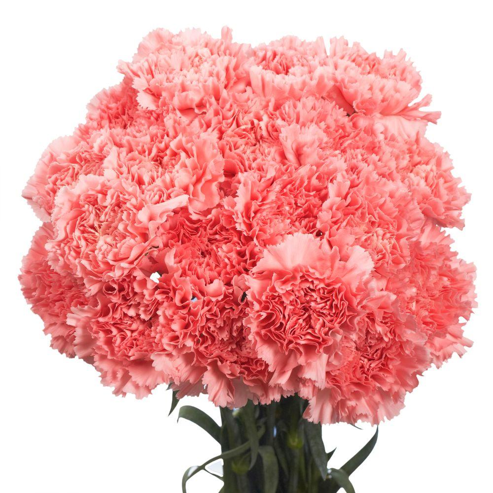 Globalrose Fresh Pink Carnations (200 Stems)