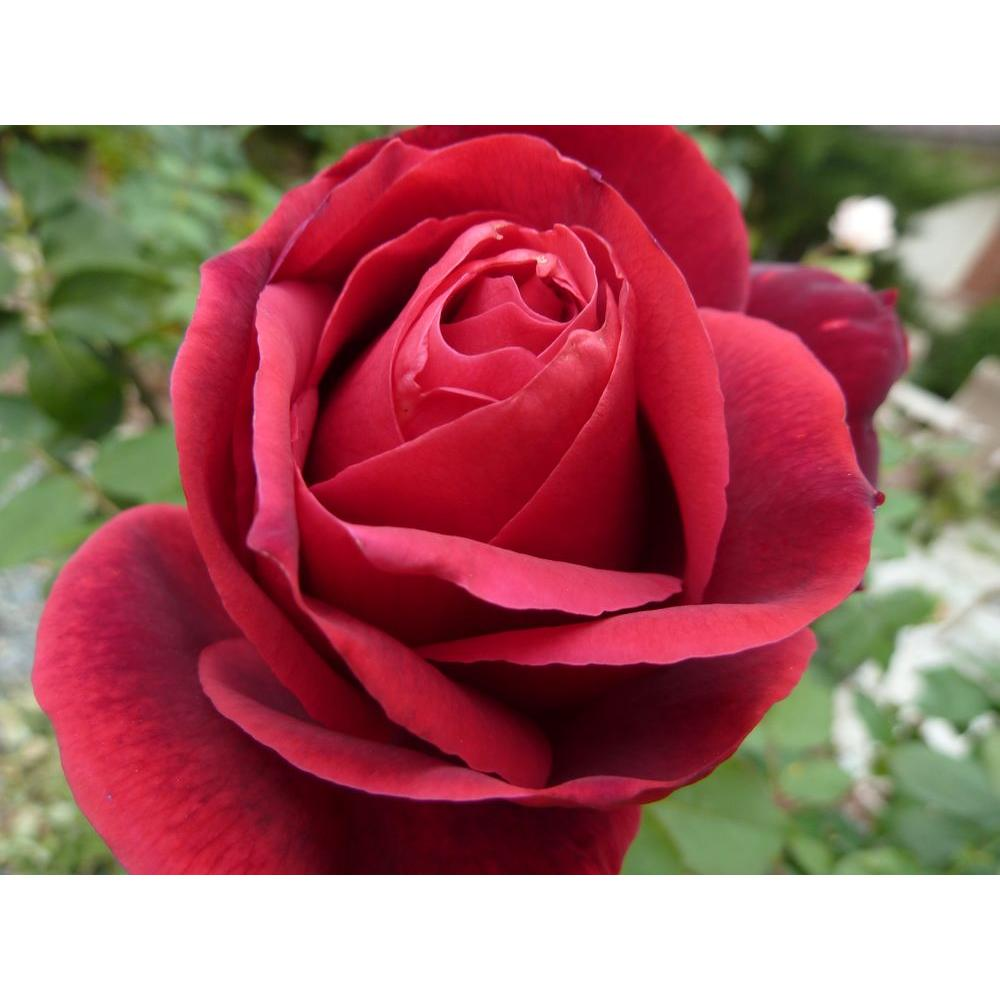 Mea Nursery All Time Favorites Rose Mister Lincoln
