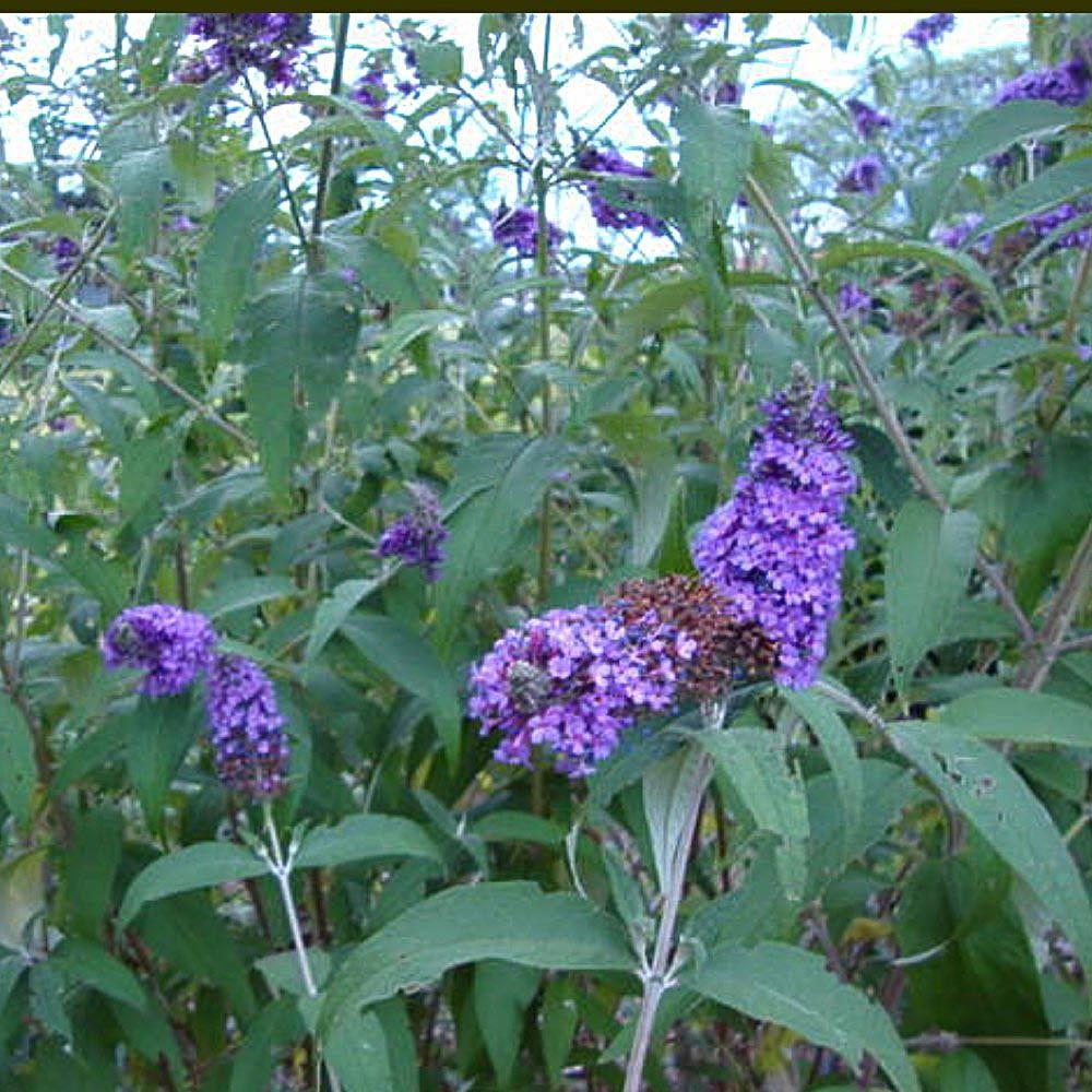 OnlinePlantCenter 2 Gal. Nanho Purple Butterfly Bush Plant-B3066CL - The Home