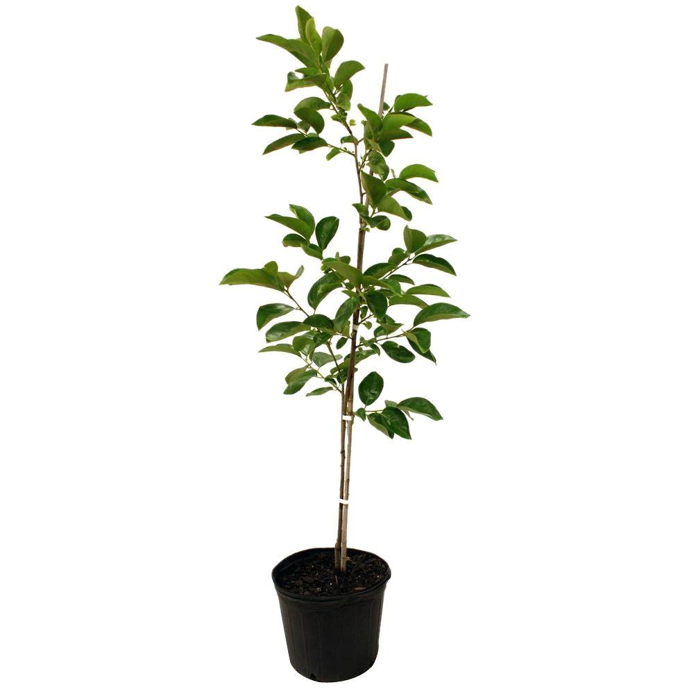 Fuyugaki Persimmon Tree-PERFUY05G - The Home Depot