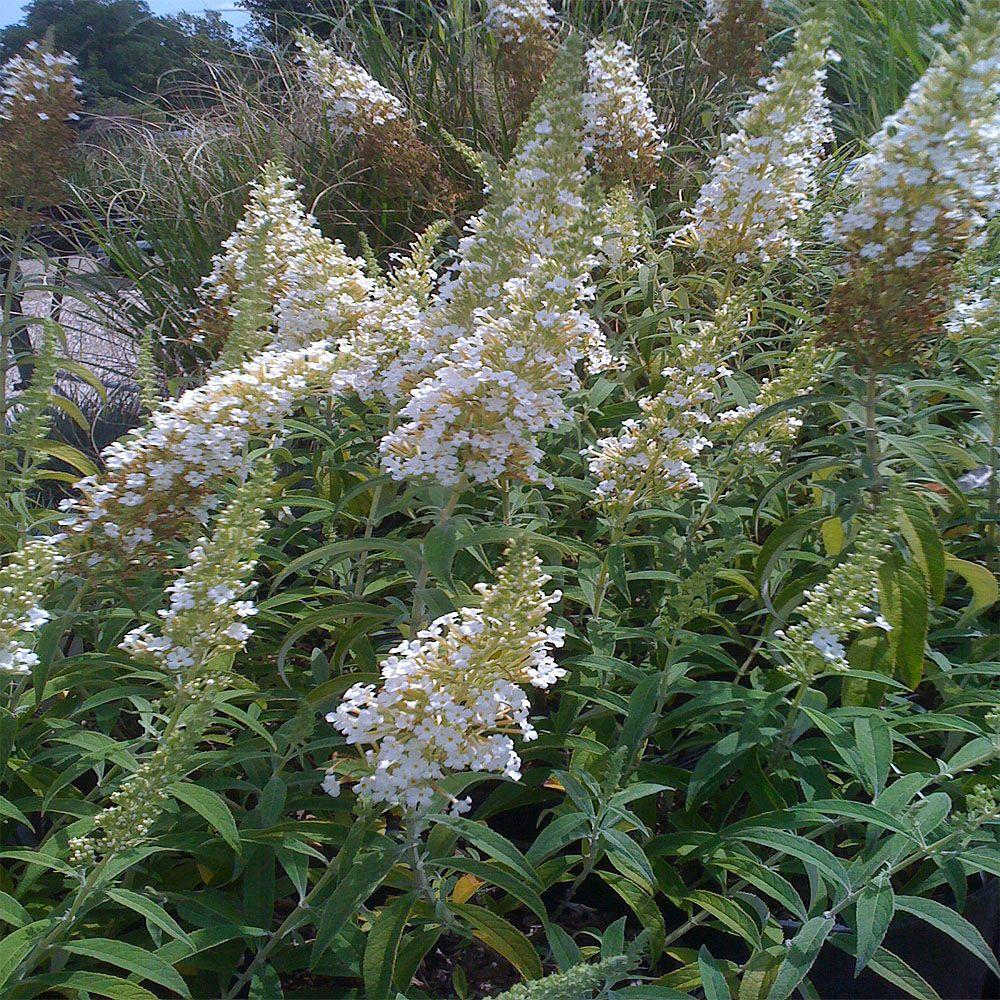OnlinePlantCenter 2 gal. White Profusion Butterfly Bush Plant-B160515 - The Home