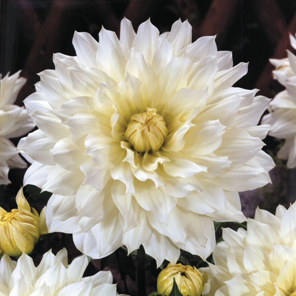null Dahlia Snow Country Dormant Tubers (4-Pack)-DISCONTINUED