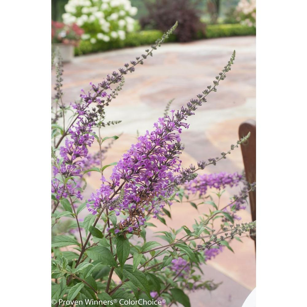 InSpired Violet Butterfly Bush (Buddleia) Live Shrub, Purple Flowers, 4.5 in.