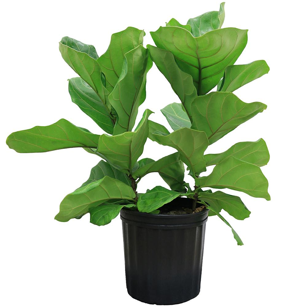 delray plants 8 34 in ficus pandurata bush in pot 10pan - House Plant Identification Guide By Picture