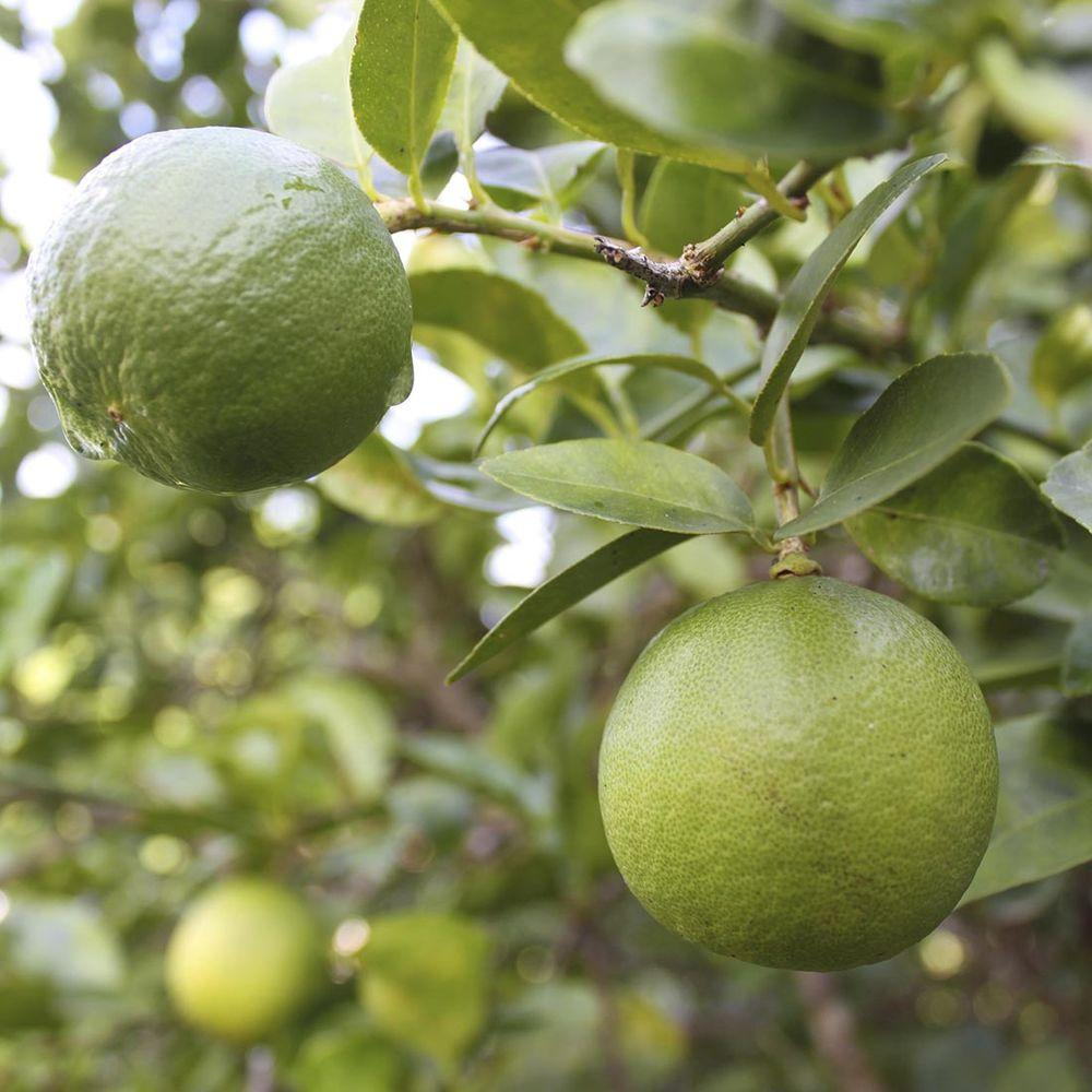 Bloomsz 32 in. Tall 1 Year Old Citrus Thorn-Less Key Lime
