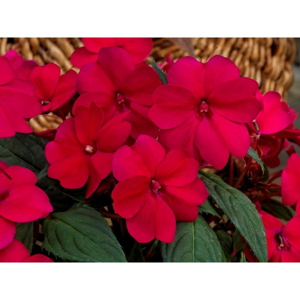 impatien  full sun  annuals  garden plants  flowers  the home, Natural flower