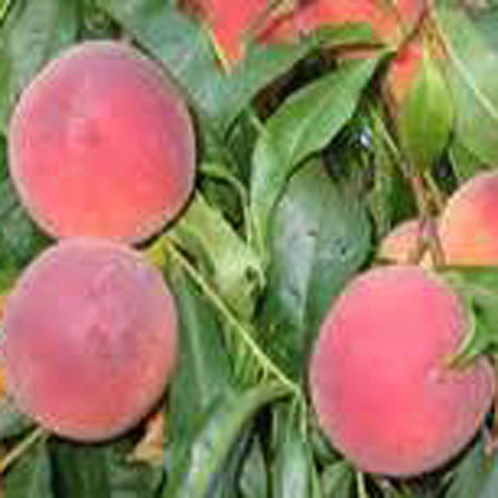 OnlinePlantCenter 5 gal. 5 ft. O'Henry Peach Fruit Tree