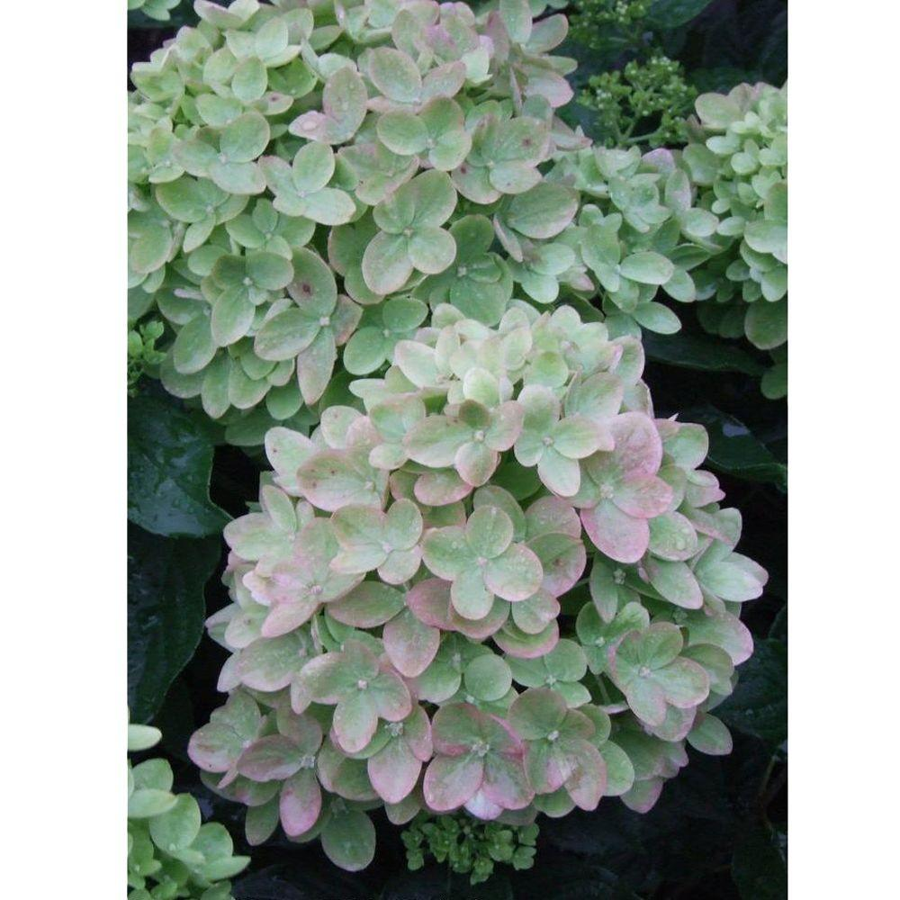 Little Lime Hardy Hydrangea (Paniculata) Live Shrub, Green to Pink Flowers,