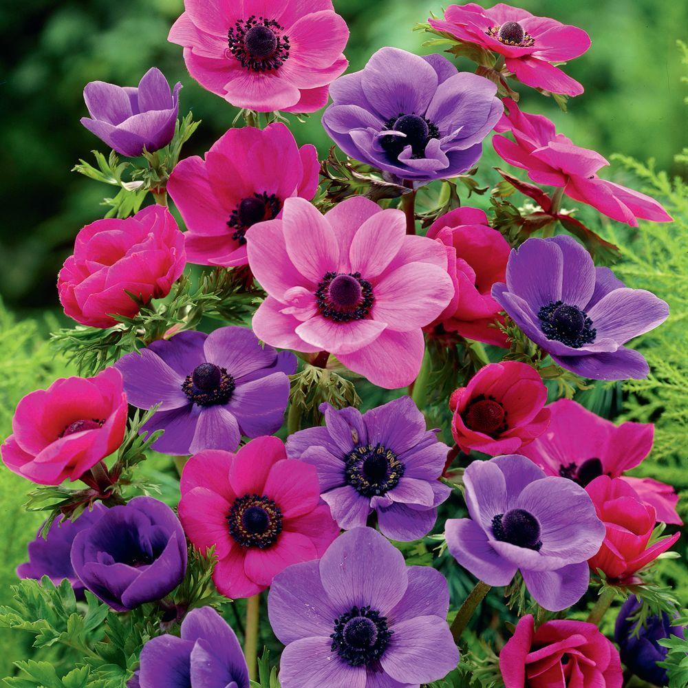 Anemone Sylphide & Anemone Mr Fokker Dormant Bulbs (90-Pack)