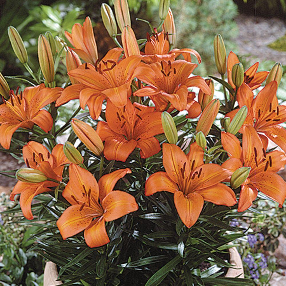 null Lily Orange Pixie Dormant Bulbs (6-Pack)-DISCONTINUED