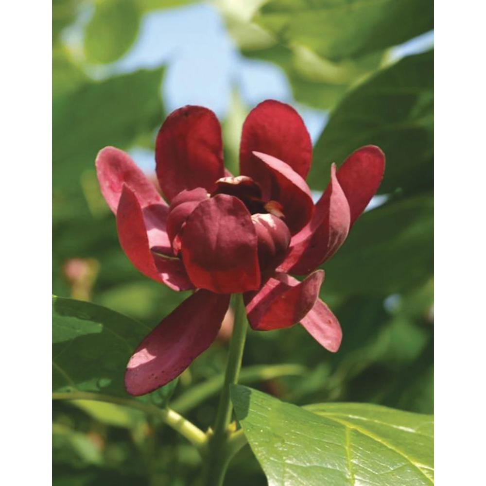 Proven Winners 4.5 in. Quart Aphrodite ColorChoice Calycanthus-CACPRC1007800 -