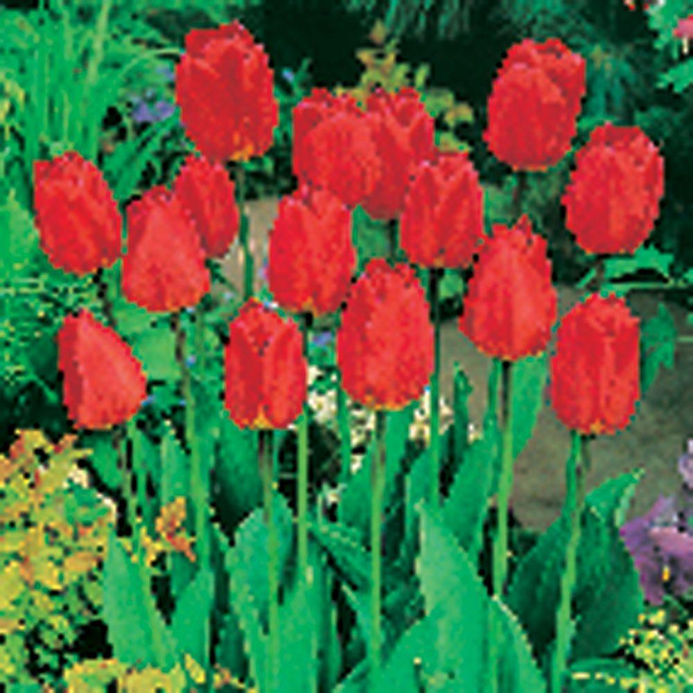 null Tulip Oxford Dormant Bulbs (80-Pack)