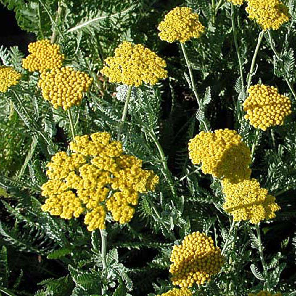 OnlinePlantCenter 1 gal. Moonshine Yarrow Plant