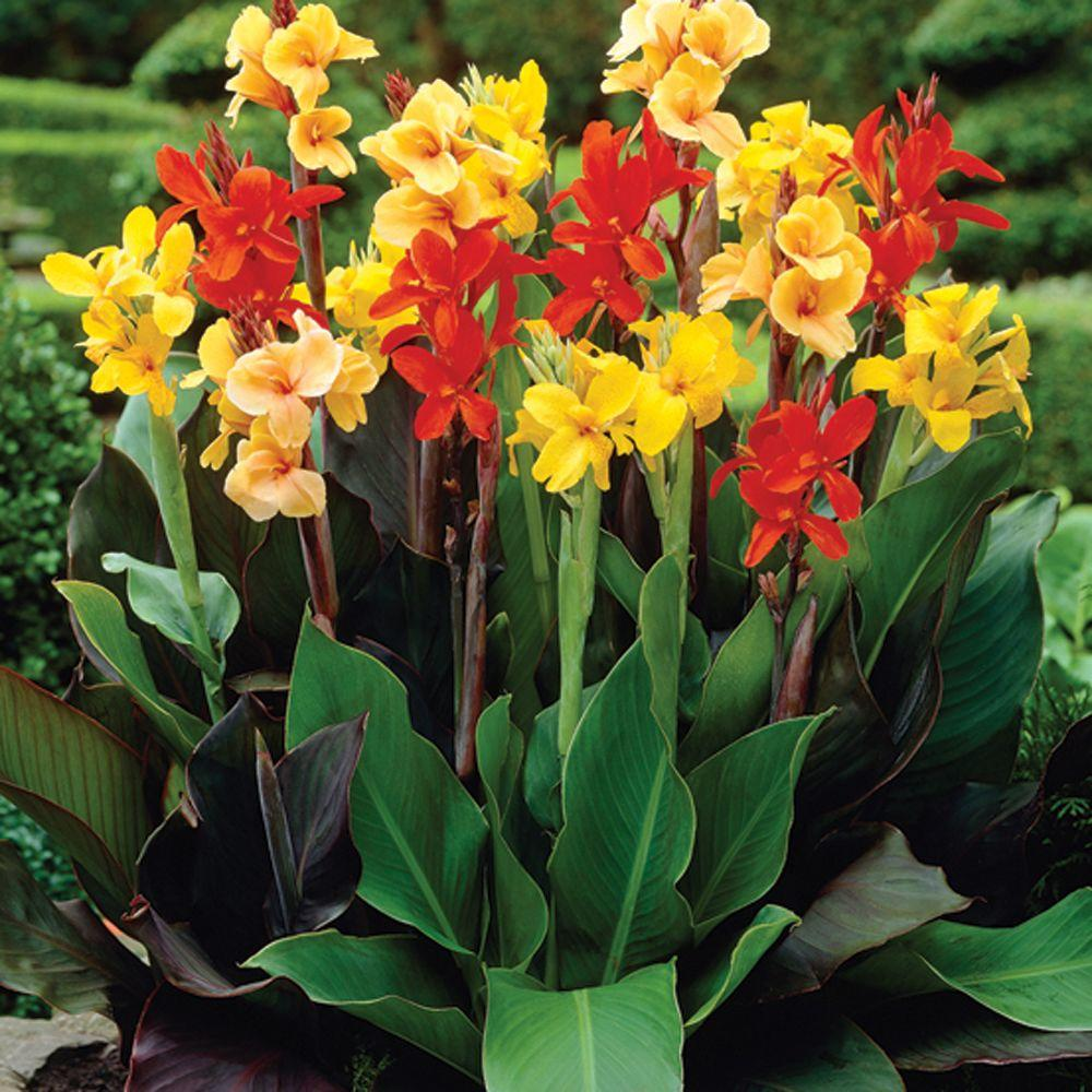 null Canna Mixed (Standard) Dormant Bulbs (8-Pack)
