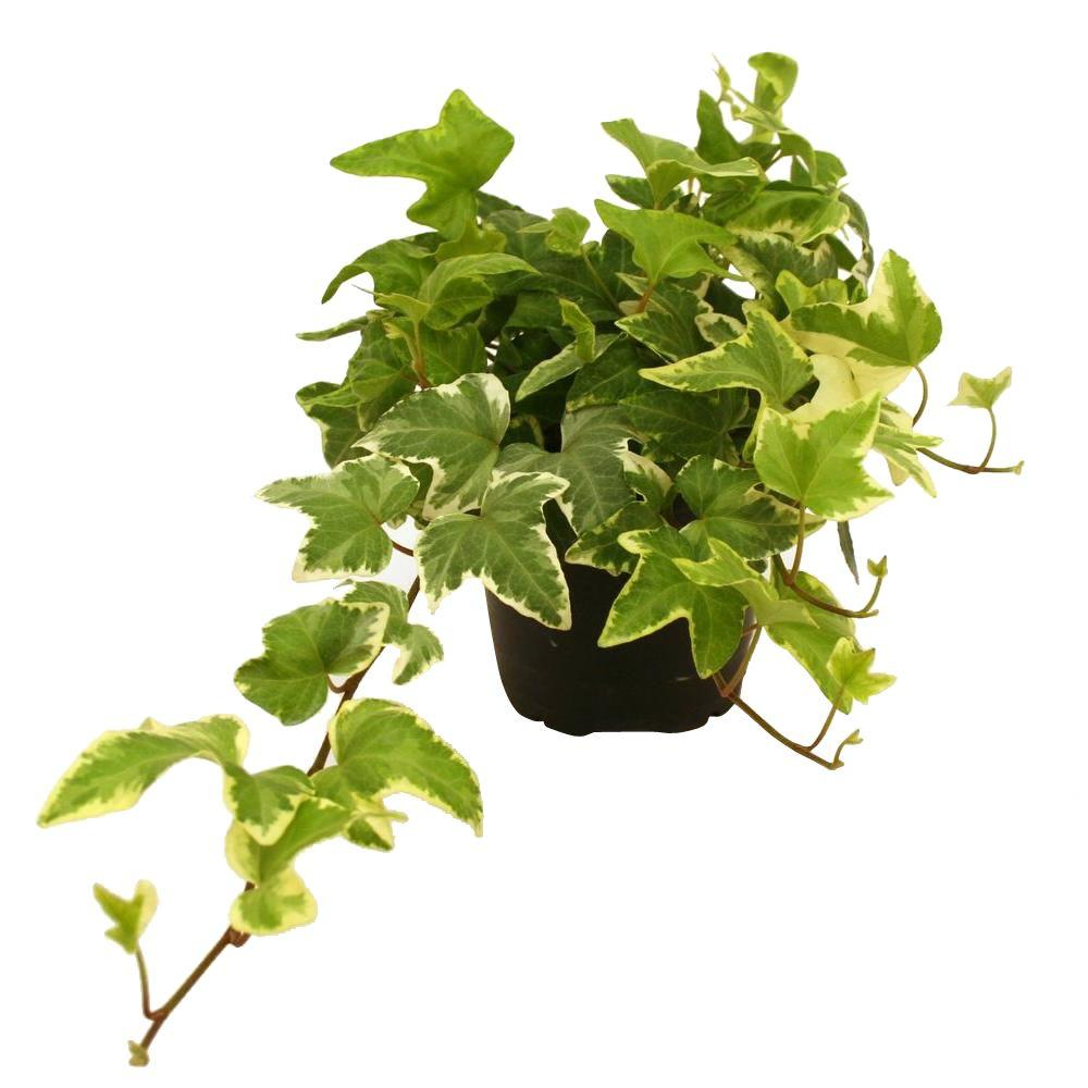 delray plants hedera ivy in 4 in pot 90403 the home depot. Black Bedroom Furniture Sets. Home Design Ideas