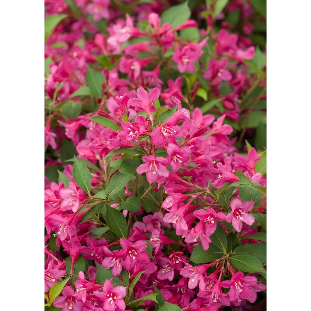 Proven Winners Sonic Bloom Pink ColorChoice Weigela - 1 Gal. Re-Blooming