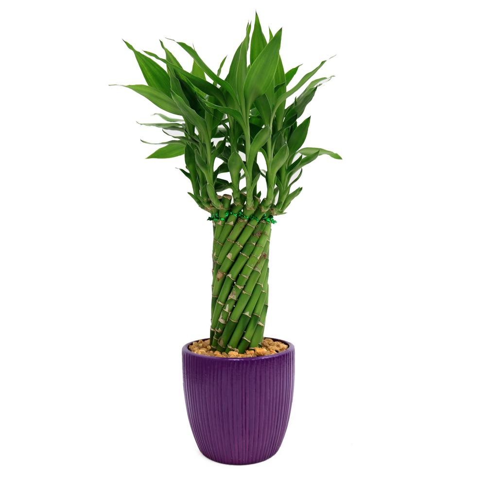 Lucky Bamboo Cylinder Braid in 4 in. Ribbed Violet Pot