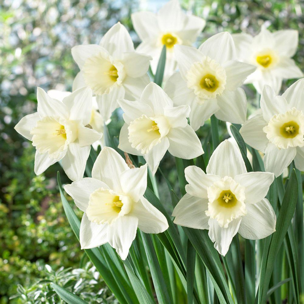 Bloomsz Daffodil Mount Hood Flower Bulb (8-Pack)-07527 - The Home Depot