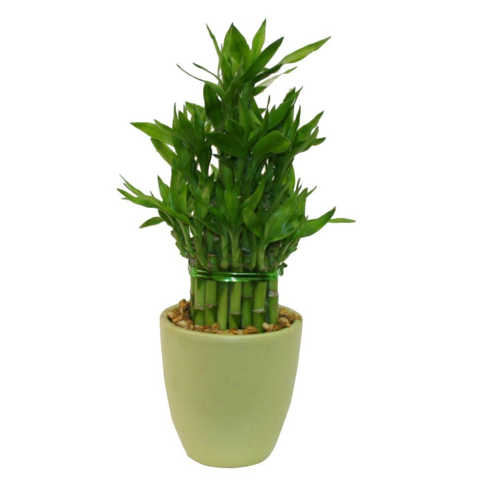 Delray Plants Lucky Bamboo Medium in 4 in. Green Pot