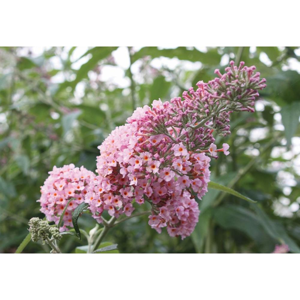 Proven Winners 3 Gal. Inspired Pink Buddleia ColorChoice Butterfly Bush