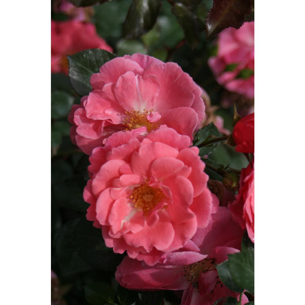 Oso Easy Pink Cupcake Landscape Rose (Rosa) Live Shrub, Pink Flowers,
