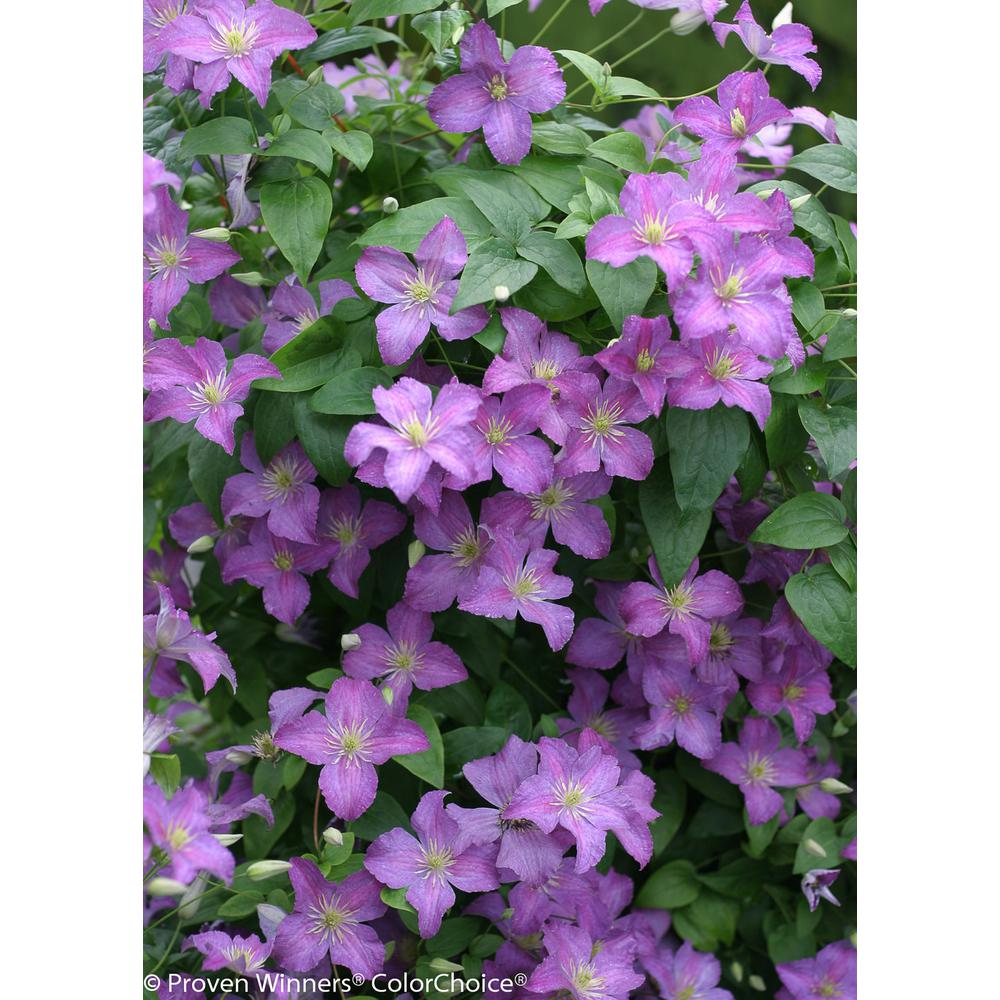 Jolly Good (Clematis) Live Shrub, Light Purple Flowers, 1 Gal.