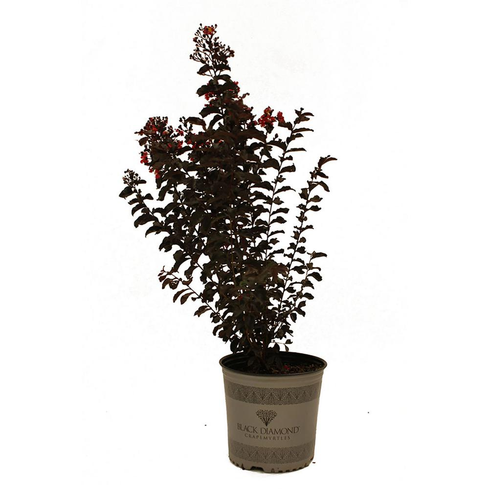First Editions Red Hot Black Diamond Crape Myrtle-CRMBDR03G - The Home