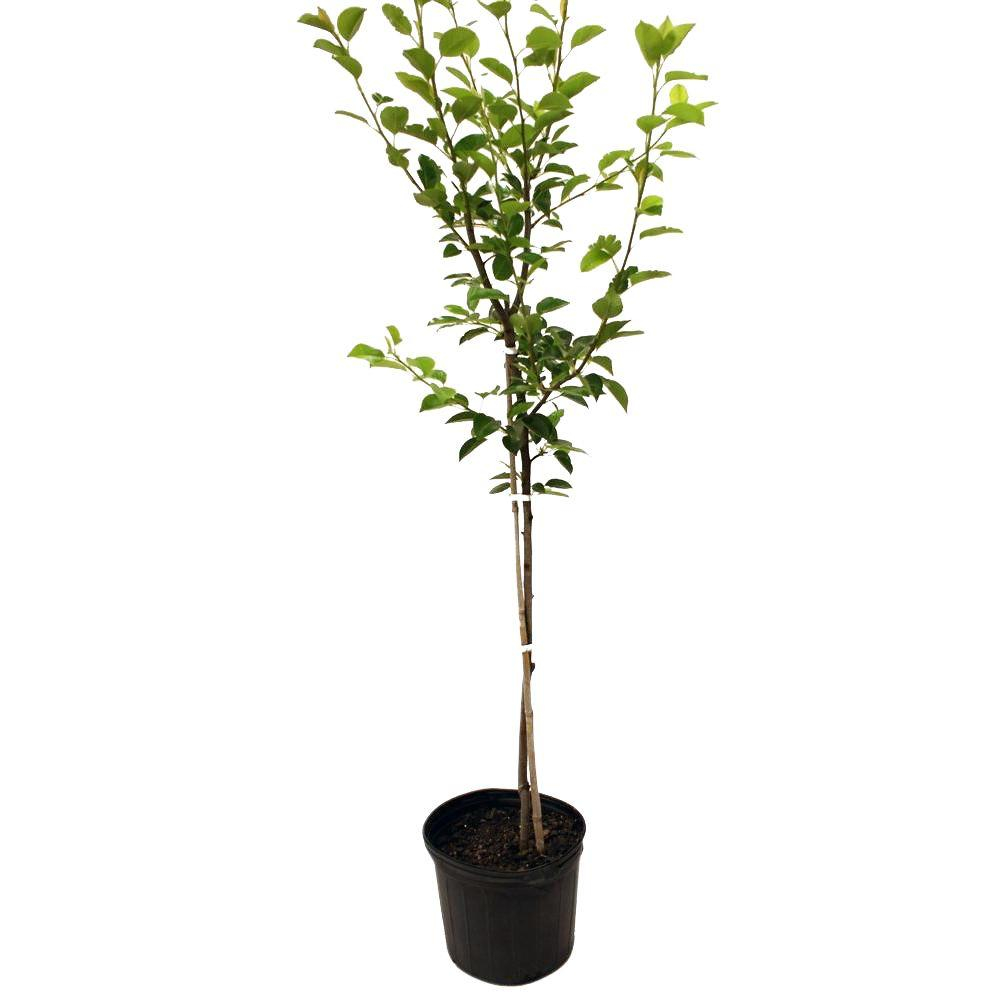 Flordahome Pear Tree-PEAFLO05G - The Home Depot