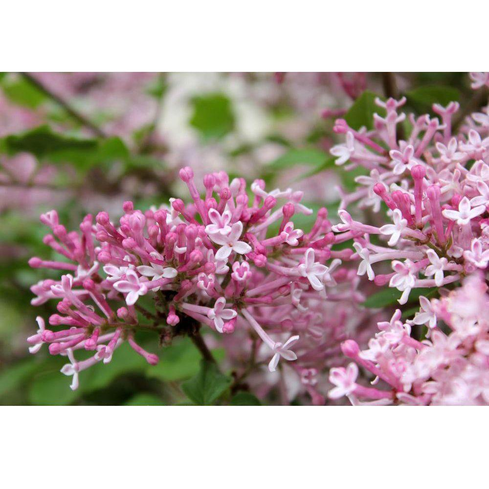 1 Gal. Scent and Sensibility Pink ColorChoice Syringa Lilac Shrub