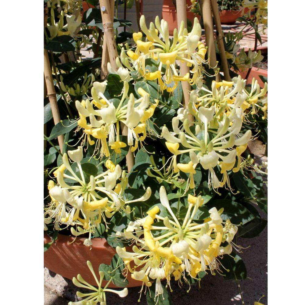 Proven Winners Scentsation ColorChoice Lonicera - 1 Gal. Honeysuckle