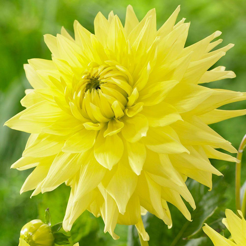 longfield gardens  yellow passion dahlia bulbs pack, Natural flower