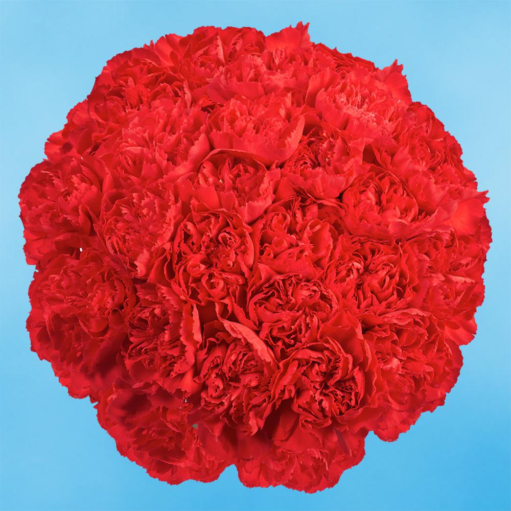 Globalrose Fresh Red Carnations (200 Stems)