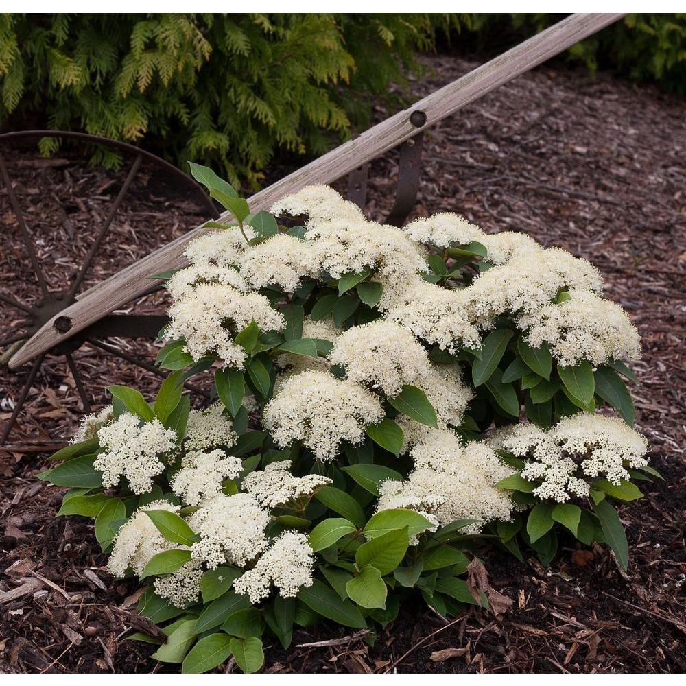 Proven Winners Lil Ditty Witherod Viburnum (Cassinoides
