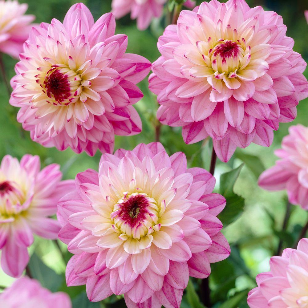 null Dahlia Lucca Johanna Dormant Tubers (4-Pack)-DISCONTINUED