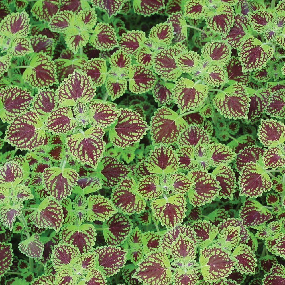 Proven Winners Proven Selections Chocolate Drop Coleus 4.25 in.