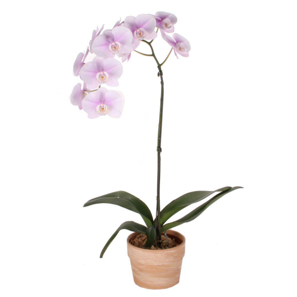 Costa Farms Orchid 6 in. Phalaenopsis in Sahara Wash Clay Pot