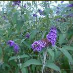 2 gal. Nanho Purple Butterfly Bush Plant