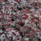 1 Gal. Palace Purple Coral Bells or Heuchera Plant