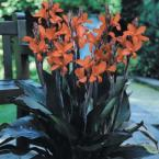 Canna Red Futurity Dormant Bulbs (8-Pack)