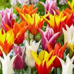 Lily Flowered Tulip Bulb Mix Flower Bulb (8-Pack)
