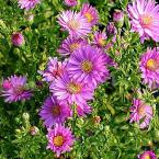 1 gal. Woods Pink Aster Plant