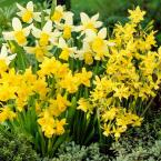 Narcissus Combo Dormant Bulbs (48-Pack)