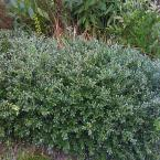 2 gal. Green Lustre Japanese Holly Shrub