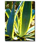 24 in. x 32 in. Agave Americana Canvas Art