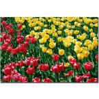 24 in. x 16 in. Red and Yellow Tulips II Canvas Art