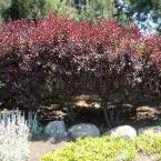 2 gal. Purpleleaf Sand Cherry Shrub