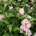 1 gal. Blushing Bride Rose of Sharon or Althea Shrub