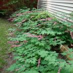 1 Gal. Old Fashioned Bleeding Heart Plant